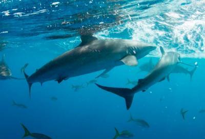 Как появились акулы в «Садах Королевы»?